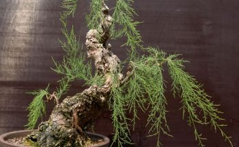 Tamarix bonsai