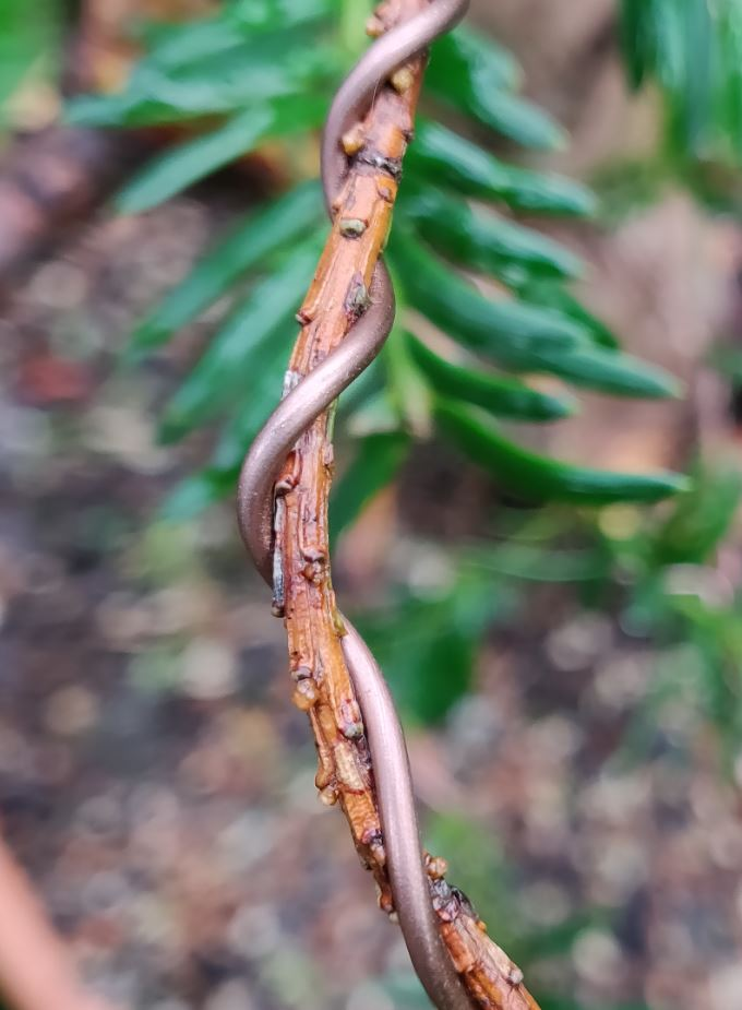 Buds appearing on taxus branch