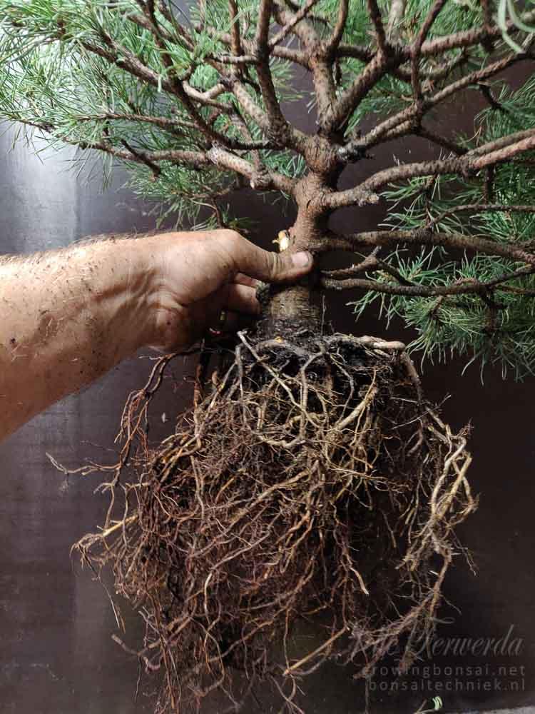 Pinus mugo roots combed
