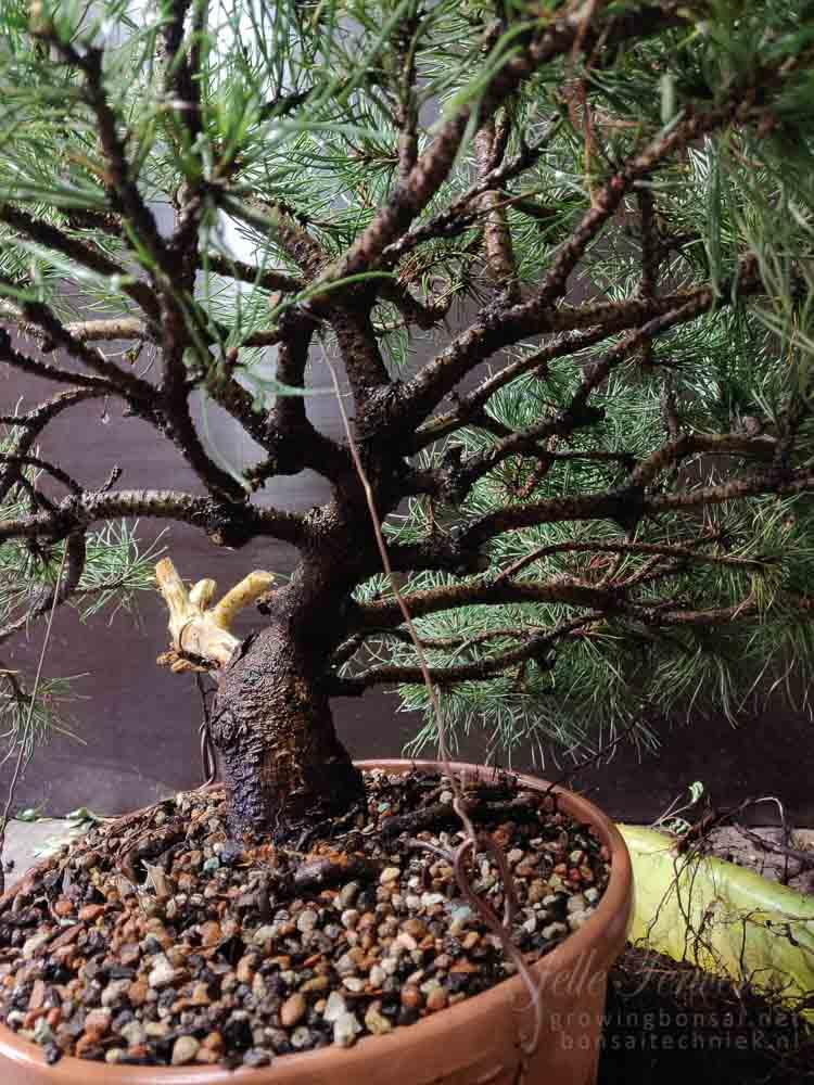 Pinus mugo final