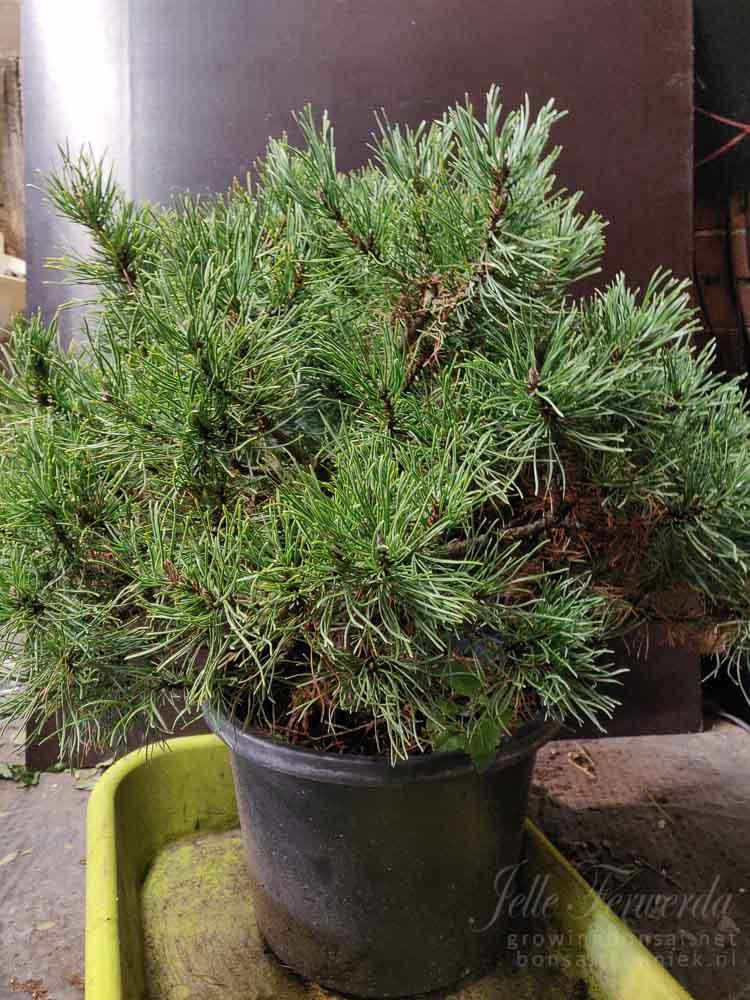 Mugo pine as purchased