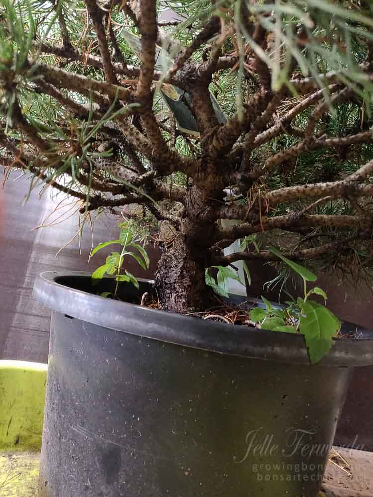 Mugo pine before repotting