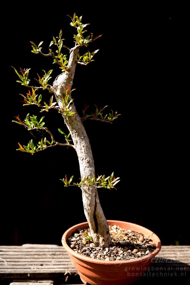 Pomegranate pre-bonsai