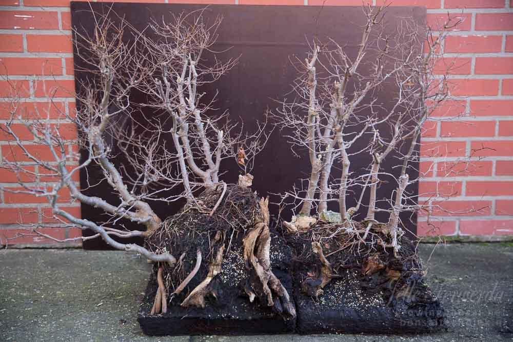 Large zelkova bonsai forest