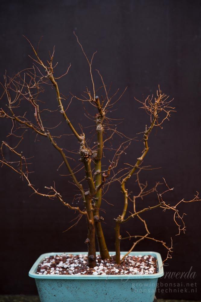 Zelkova overgrown bonsai