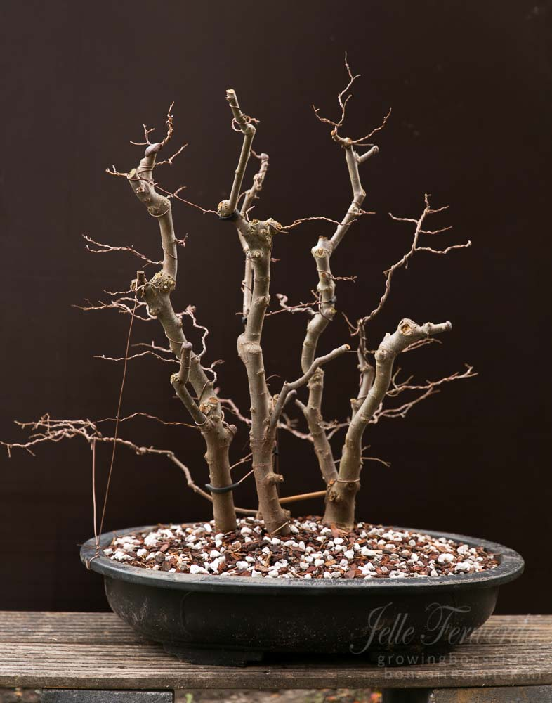 Zelkova bonsai forest trimmed and wired