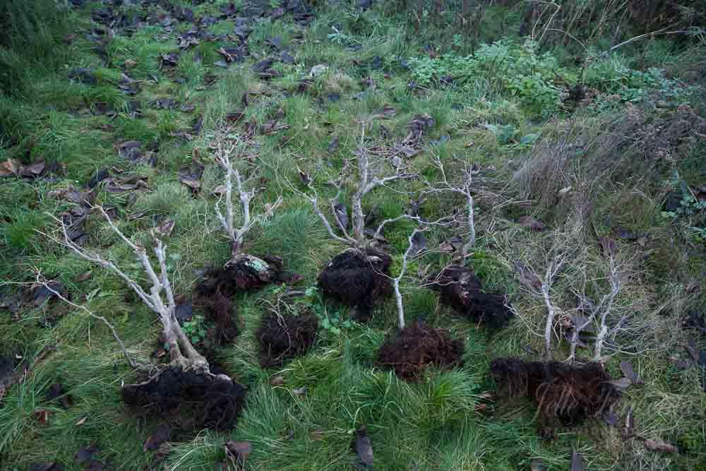 Zelkova bonsai forest split up