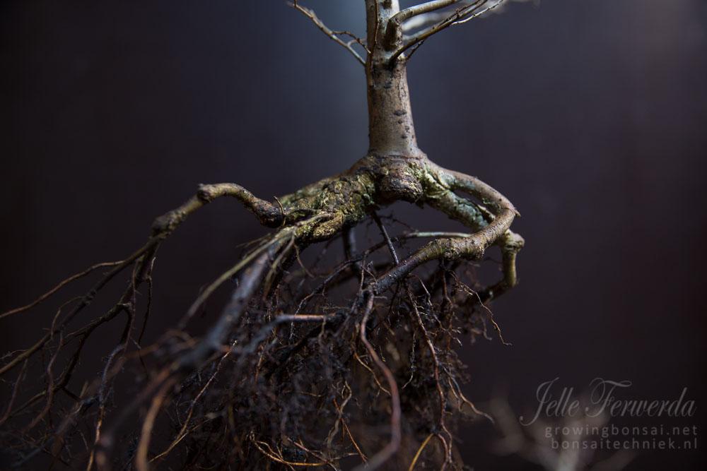 Zelkova bonsai poor roots