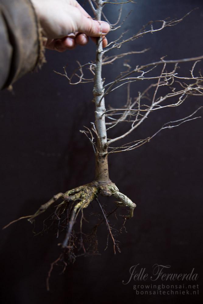 Zelkova bonsai poor roots trimmed