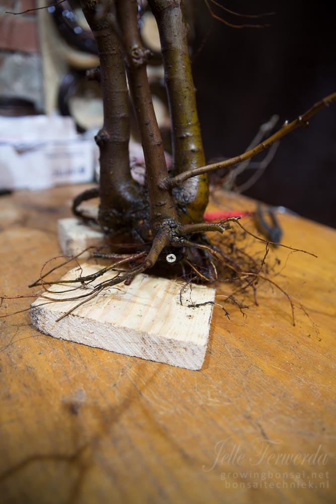 Zelkova bonsai group of 3 screwed