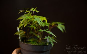 Acer palmatum arakawa cuttings